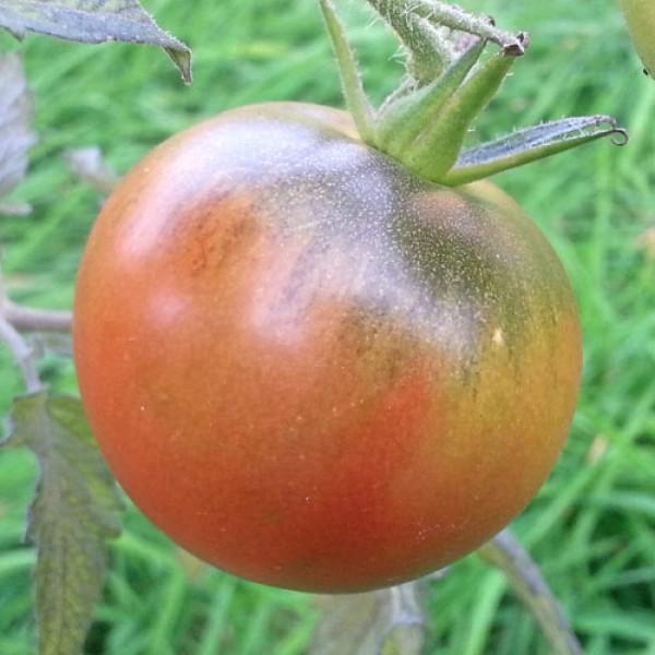 Purple Cherokee Tomaten Samen