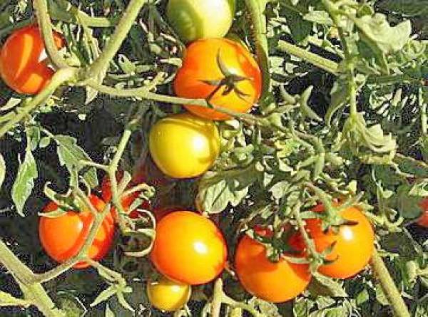 Sun Drop Tomaten Samen
