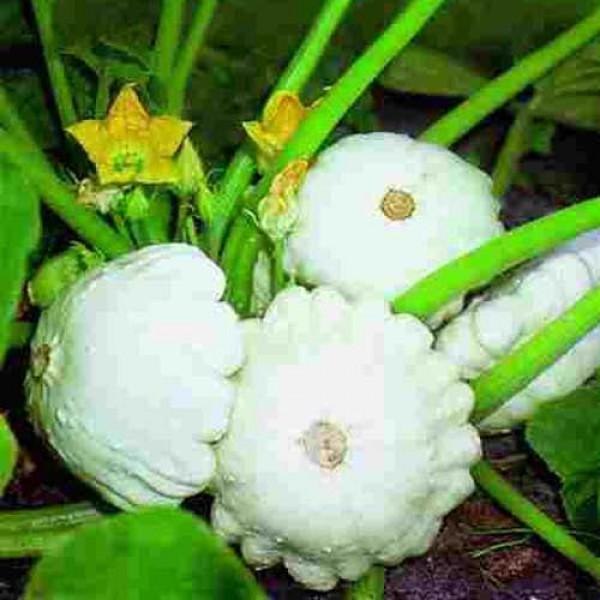 Zierkürbis Custard White B-Ware