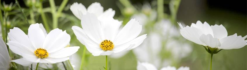 weisse_Blumen
