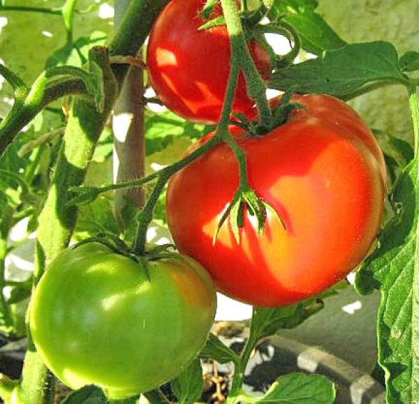 Jubileum Tomaten Samen