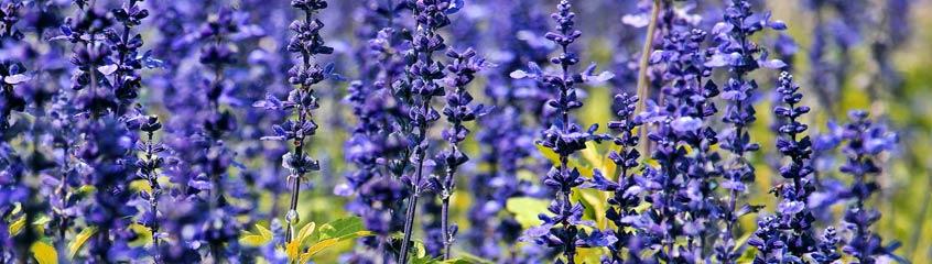 blaue_Blumen