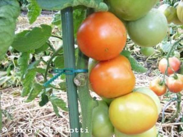 Moneymaker Tomaten Samen B-Ware