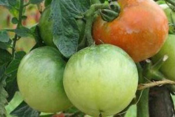 Ace 55 Tomaten Samen