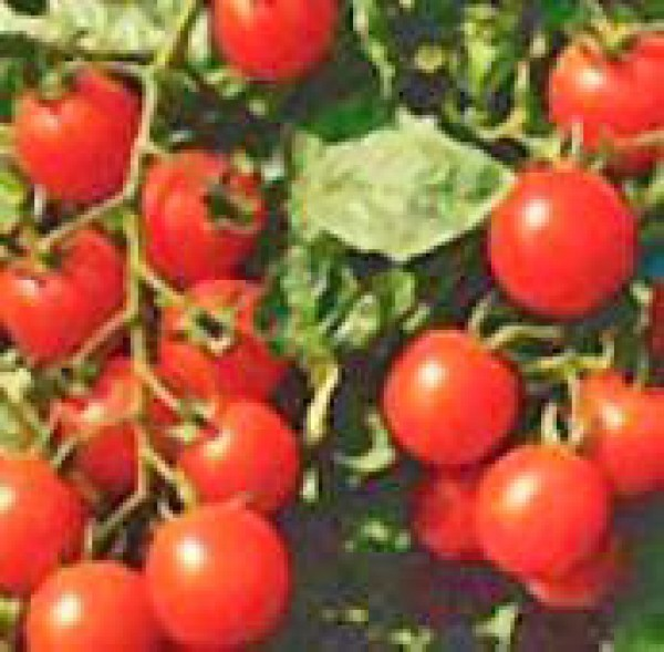 Small Red Cherry Tomaten Samen