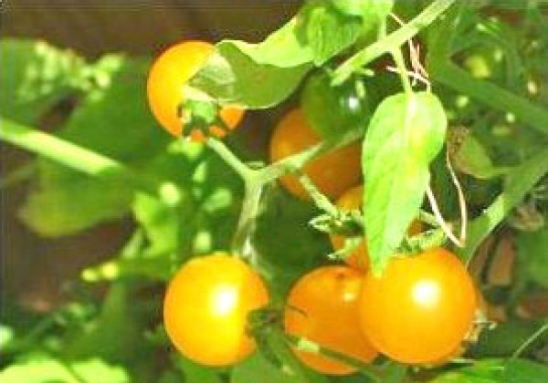 Gold Nugget Yellow Cherry Tomaten Samen
