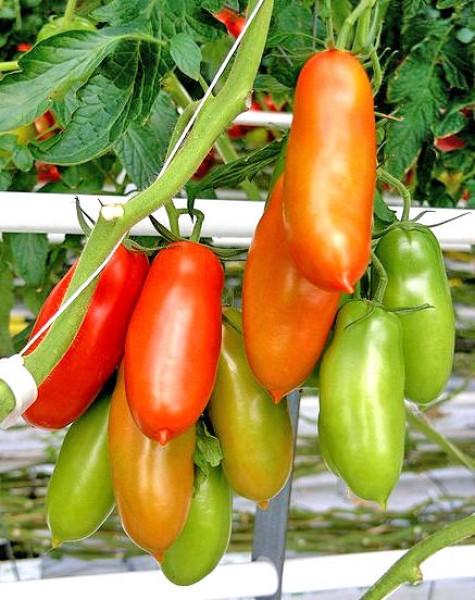 Napoli Tomaten Samen