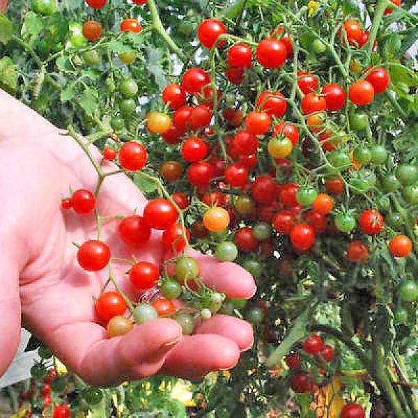 Currant Sweet Pea Tomaten Samen