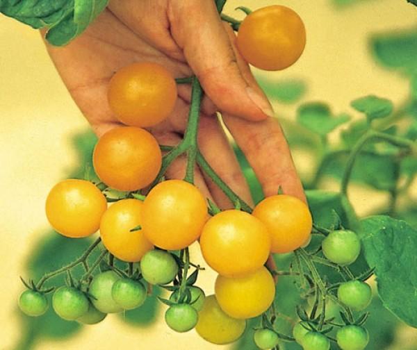 Ildi Tomaten Samen