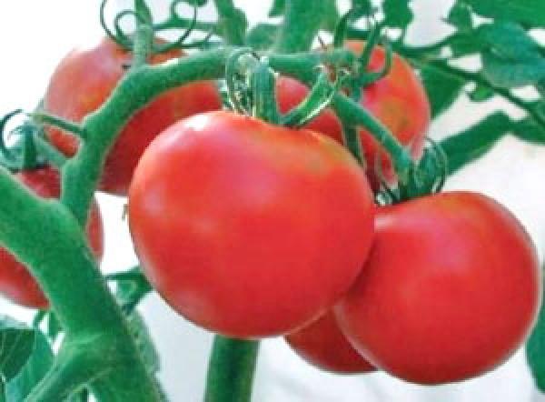 Rutgers Tomaten Samen