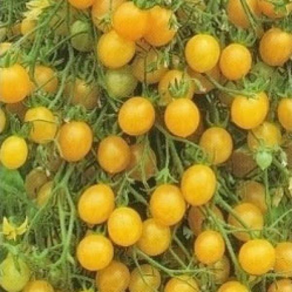 Tondino Giallo Tomaten Samen