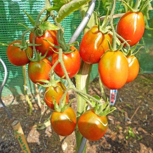 Black Plum Tomaten Samen