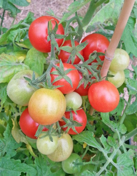 Window Box Red Tomaten Samen