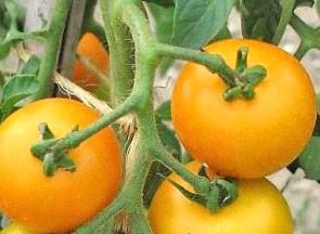 Tangerine Tomaten Samen