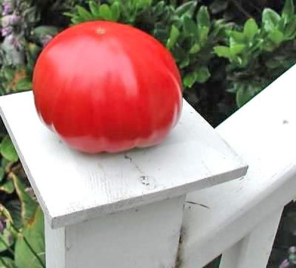 Gigante Johnson Tomaten Samen