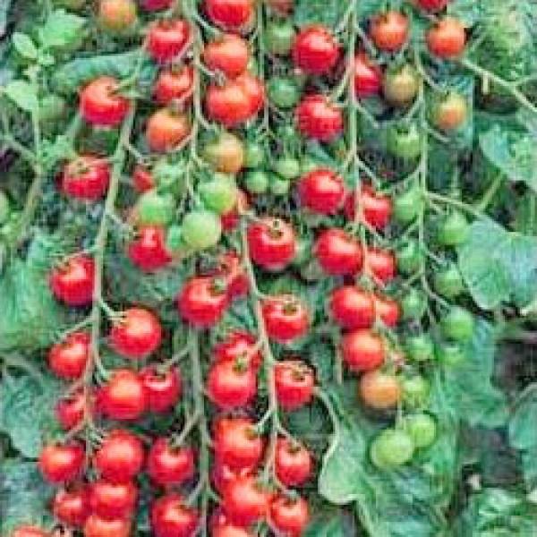 Cerise Tomaten Samen