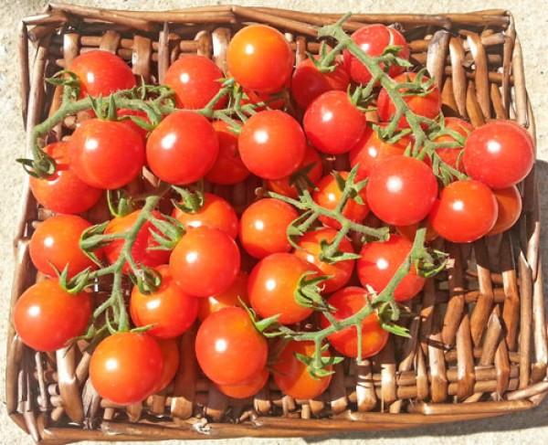Ciliegia Incan Tomaten Samen