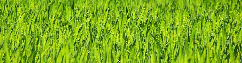 Weizen- und Gerstengras
