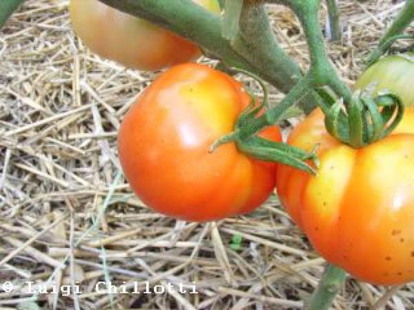 Marmande Superprecoce Tomaten Samen