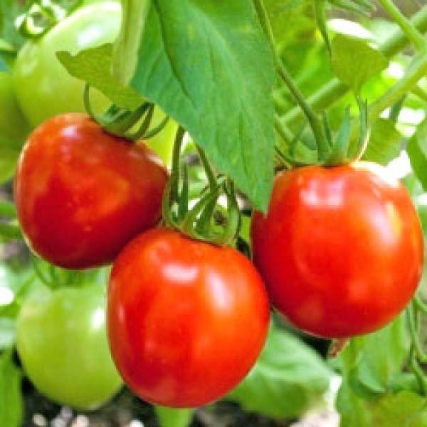Glacier Tomaten Samen